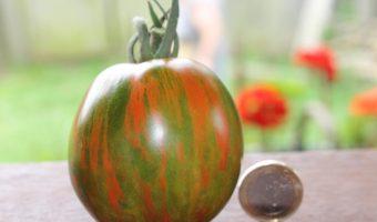 Eine sehr schön gestreifte Salattomate
