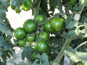 Green Zebra Früchte an der Pflanze