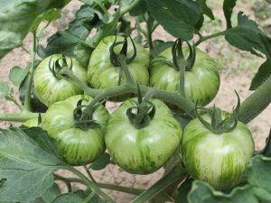 Green Zebra Fruchtstand