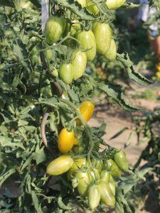 Reifende Blush Tomaten im Freiland