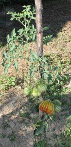 Bührer Keel Tomate im Freiland