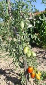 De Berao Tomaten im Freiland reifend