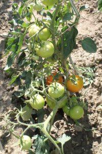Edelrot Tomate im Freiland