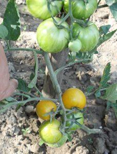 Gelber Tiger Tomate im Freiland