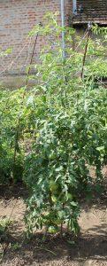 Die Sweet Israeli Tomate im Freiland