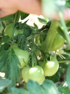 Reifende Früchte der Kreta-Sorte an der Pflanze