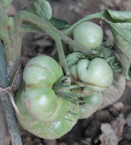 Unreife Tomate im Freiland