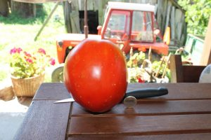 Kroatische Ochsenherz Tomate