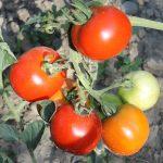 Reifende Rideau Sweet Tomaten im Freiland