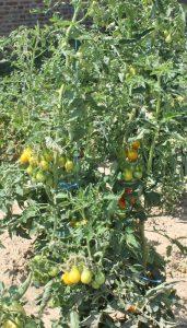 Tomatenpflanze im Freiland