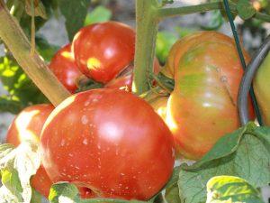Reifende Brandywine Tomaten