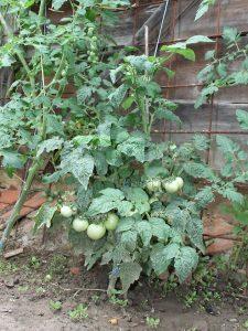 Huberts Beste Tomaten