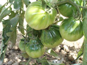 Die unreife Trusha Tomate