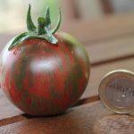 Violet Jasper Tomate reif