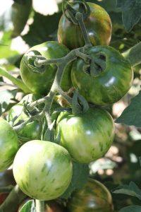 Violet Jasper Tomatenpflanze