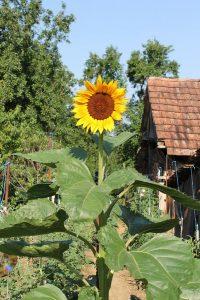 Sonnenblume im Gemüsegarten
