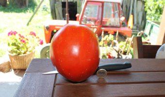 Eine große Tomate vom Freiland