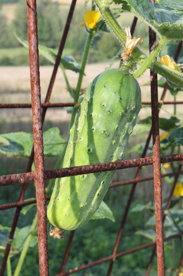 Die Qualität der Zutaten wie hier die im Freiland wachsende Gurke, machen den ganz großen Geschmack aus.