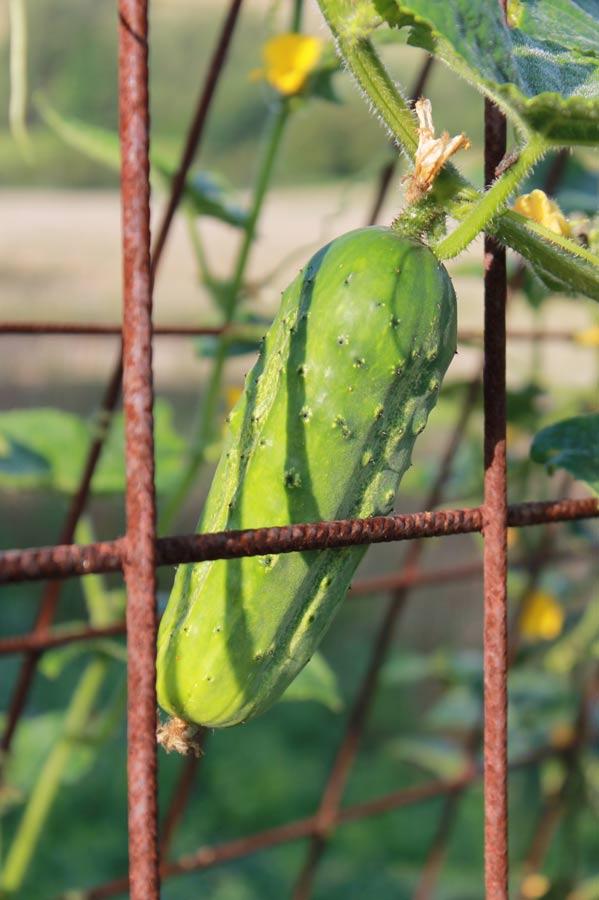Sie würden ja alle so schön wachsen, wie diese Gurke im Freien, wenn man sie nur ließe.