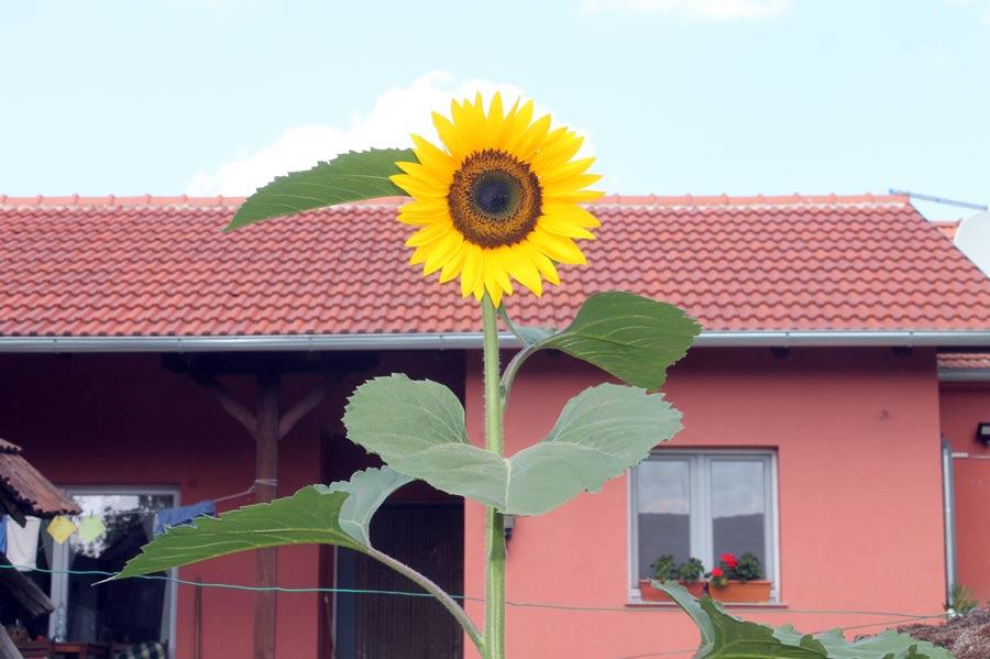 Wild wachsende Sonnenblume bei uns vor dem Haus,
