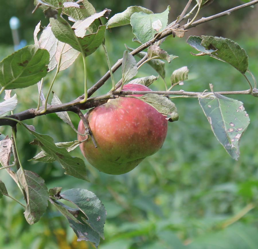 Ein einziger Apfel am Baum