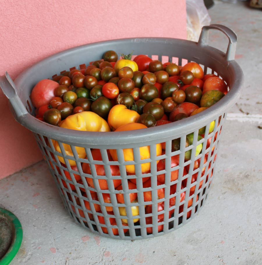Ein großer Erntekorb  voll mit bunten Tomaten aus unserem Freilandanbau.