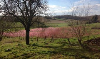 Pfirsich Blüte