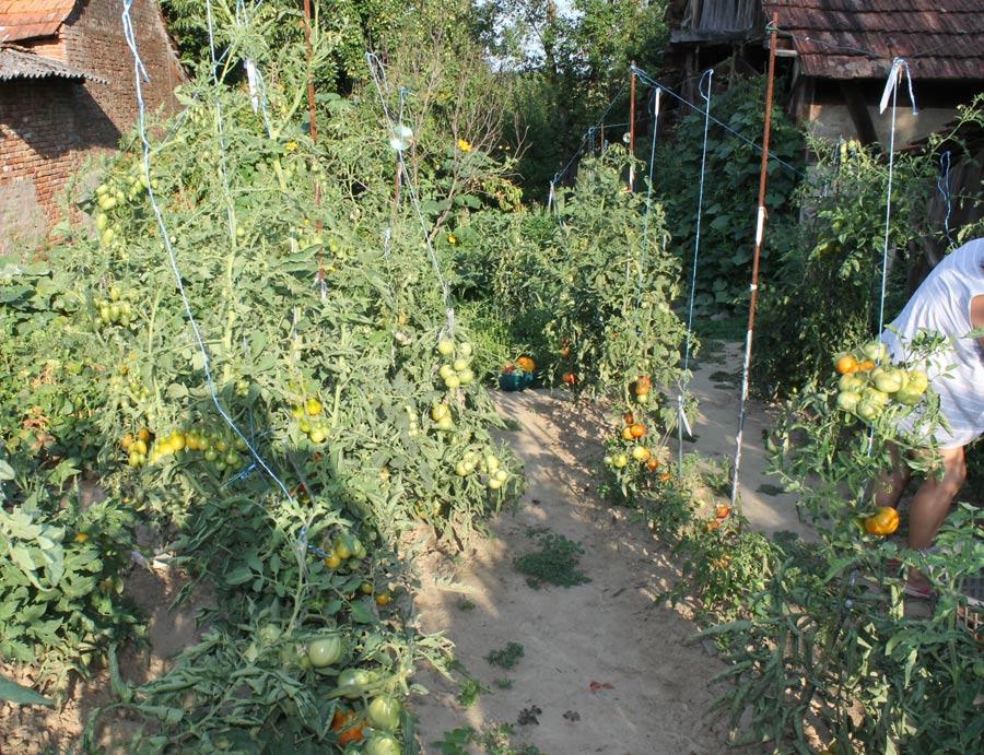 Tomatenernte im Freiland bei uns in Kroatien