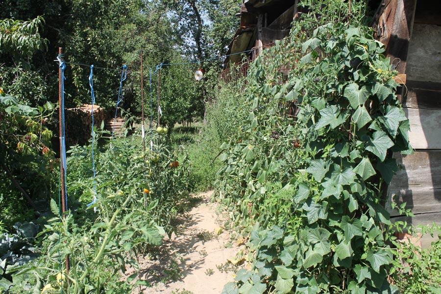 Tomaten wachsen an der Wand des alten Stadl hoch.