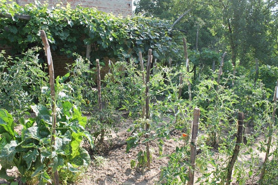 Unser drittes Tomatenfeld beim Nachbarhaus gegenüber.
