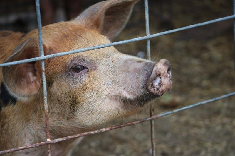 Zaun mit Schwein