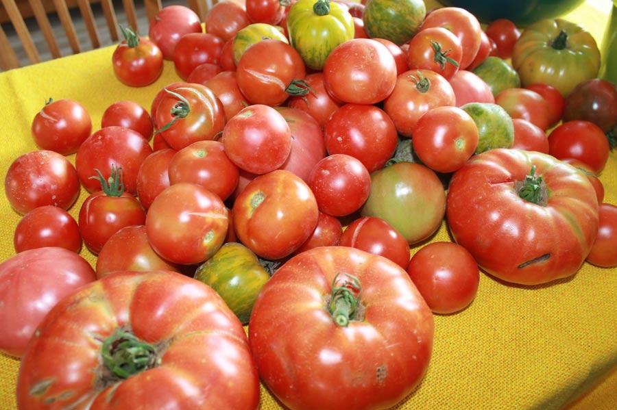 Verschiedene Sorten Freiland-Tomaten aus eigener Anzucht