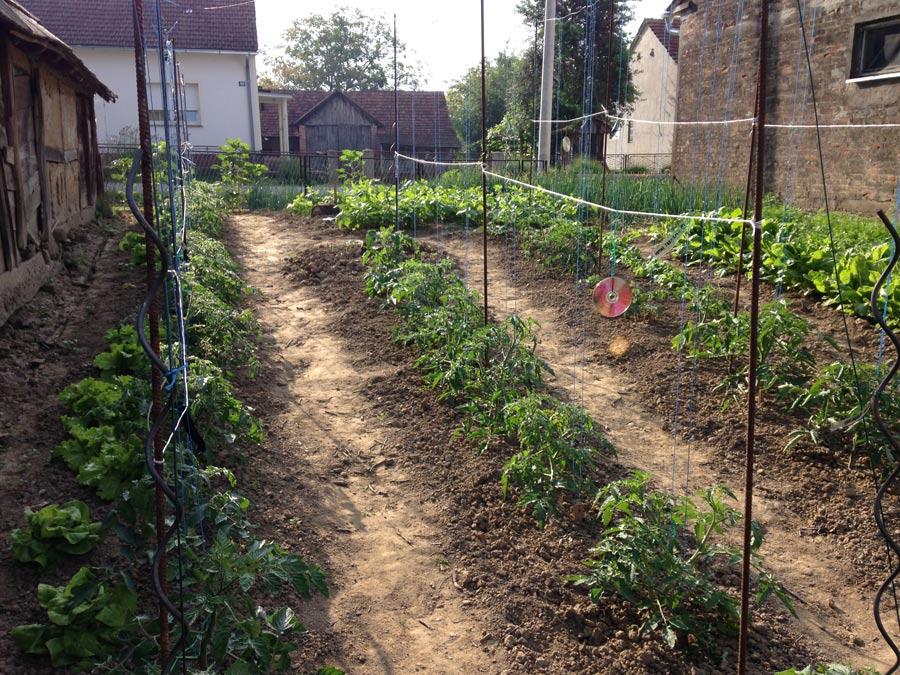 Teilansicht des Freilandgarten mit Anbau von Tomaten aus eigener Anzucht