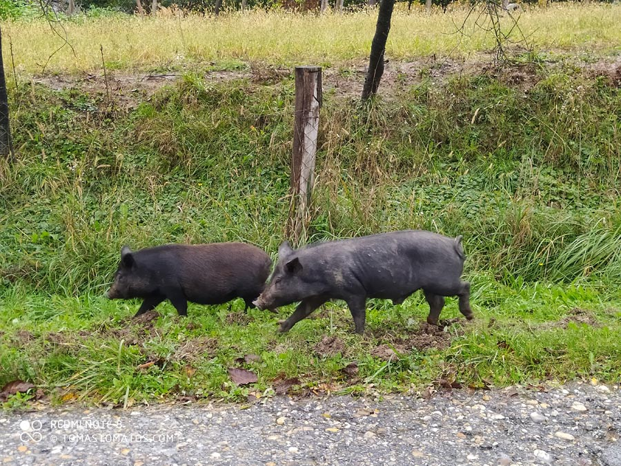 Frei laufende Hausschweine in Kroatien